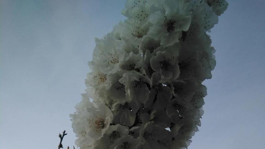 Ahí fuera sigue la vida: florecen los cerezos de la Vall de Gallinera