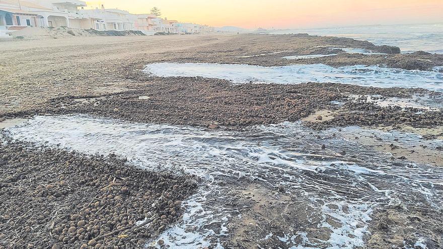 Oliva mantendrá la posidonia en la arena para proteger sus playas