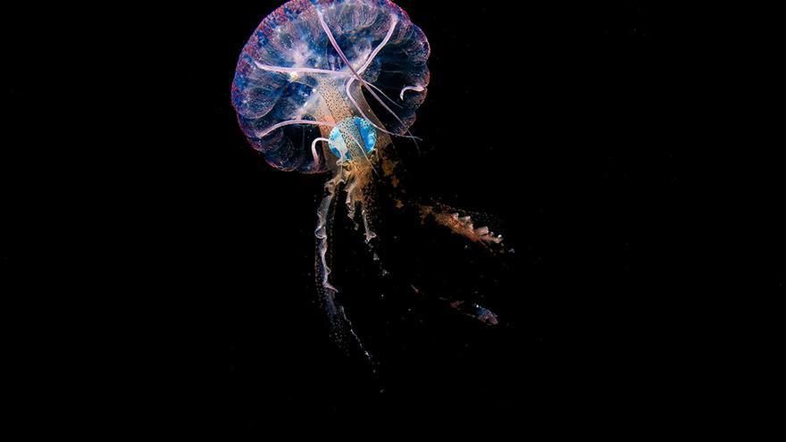Un estudio de la ULPGC muestra por primera vez medusas con plástico en su interior