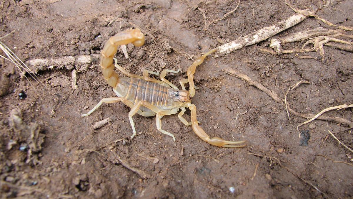 El escorpión que vino de Asia dentro de un bolso