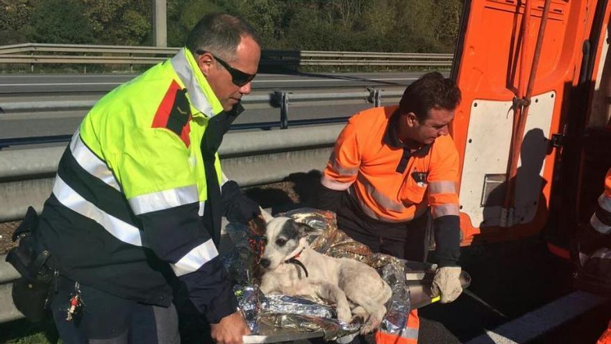 Rescaten un gos amb les potes trencades del mig de l'autopista