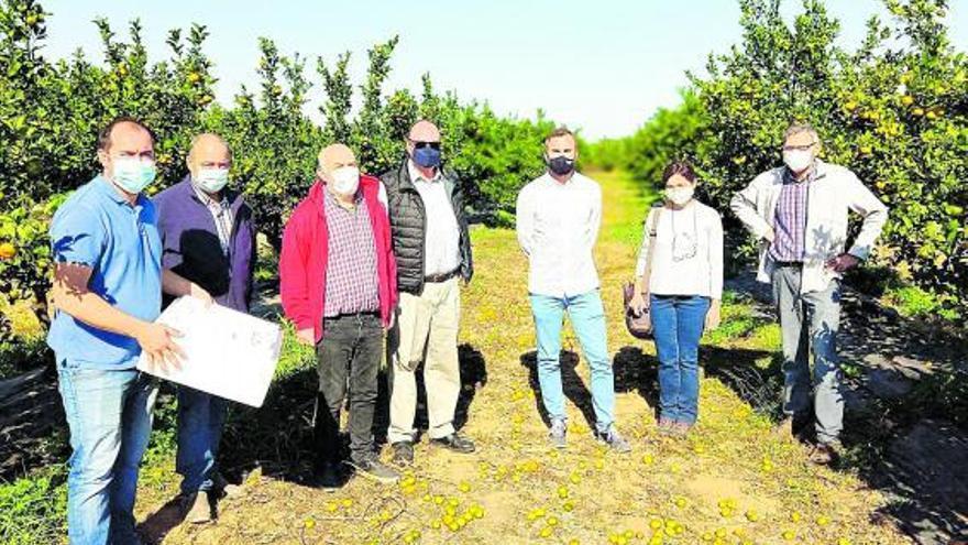 """Agricultura prueba en Oliva la eficacia de la lucha biológica contra la plaga del """"cotonet"""""""