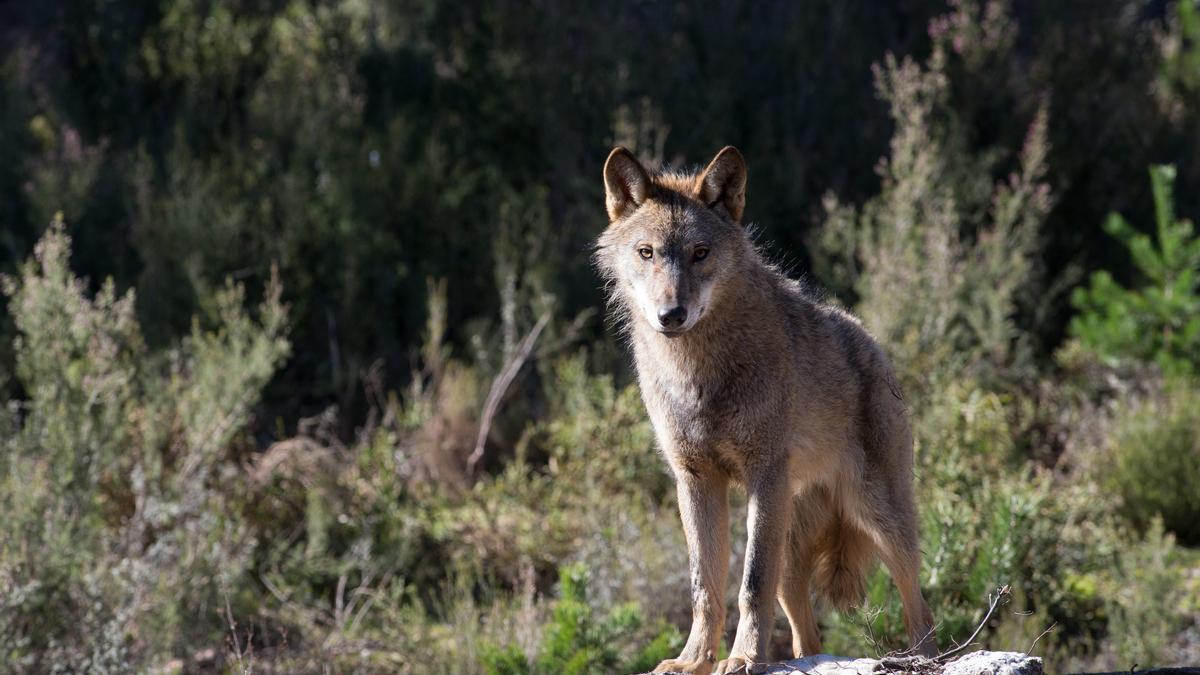 Un lobo ibérico en Robledo de Sanabria.