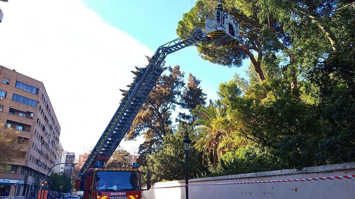 Podan el pino monumental  de Monforte | LEVANTE-EMV