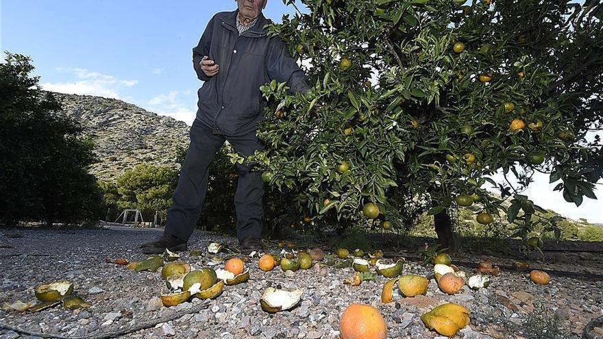 Más promesas contra una plaga de jabalíes que no cesa en la provincia de Castellón