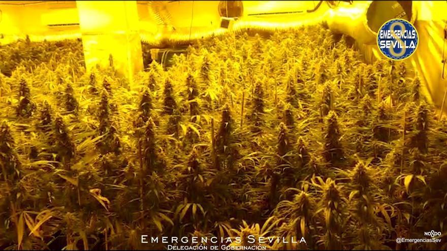Detenido un hombre que portaba 380 plantas de marihuana en Sevilla