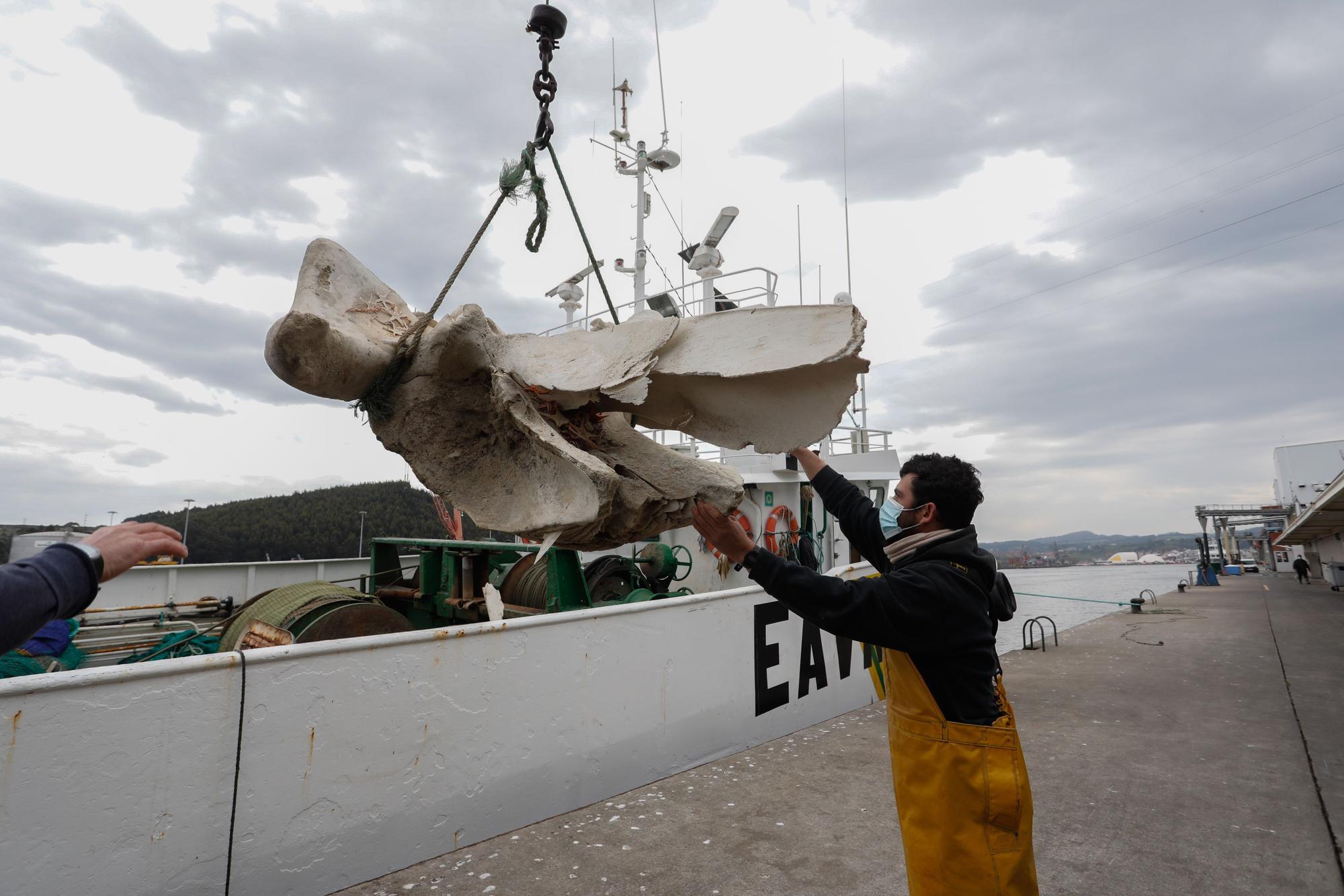 """Hallazgo entre las redes: """"pescan"""" restos de una ballena a 20 millas de Avilés"""