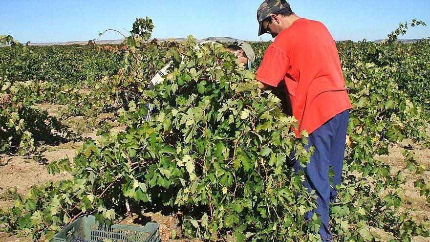 La DO Toro autoriza la recolección en la vendimia de uvas albillo y moscatel para vinificación