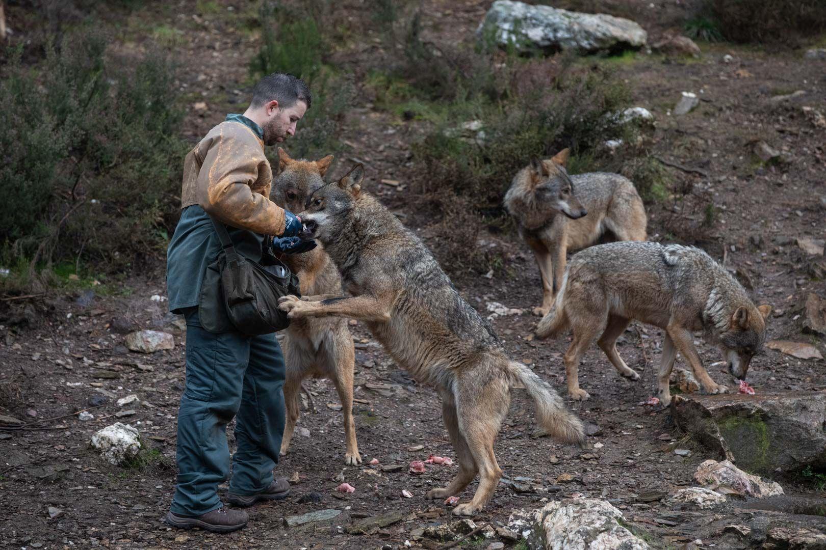 GALERÍA | Así vive el lobo en el centro de Robledo de Sanabria