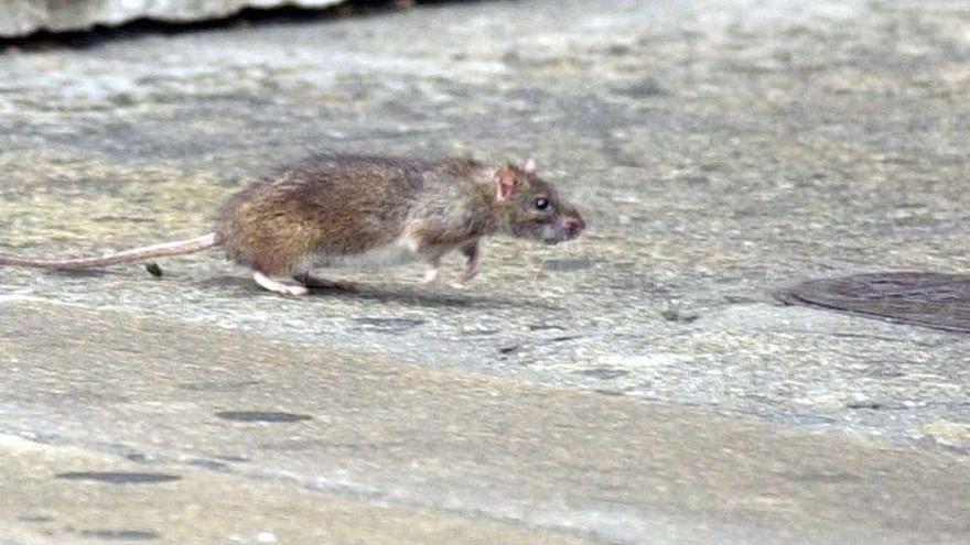 Denuncian la presencia de ratas junto a un colegio del Grao de Castellón