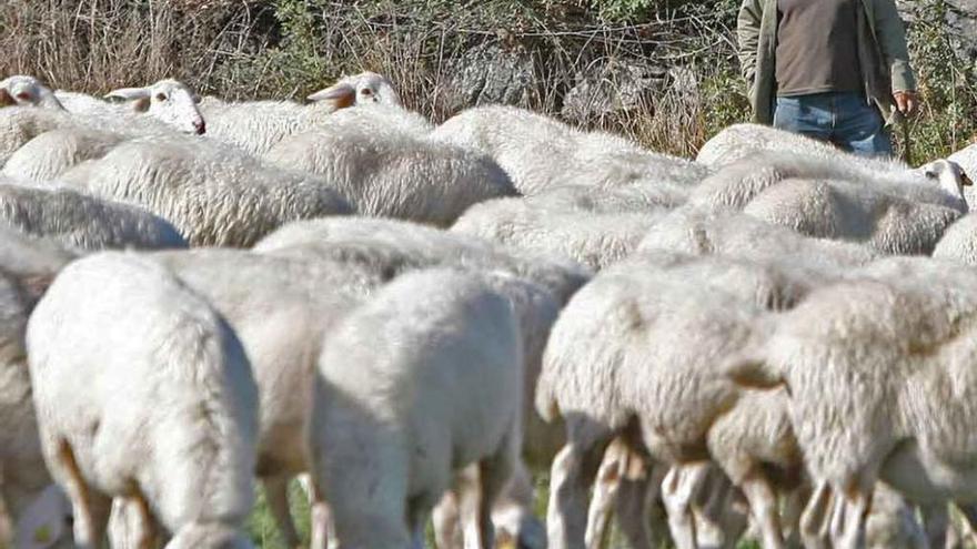 """Urcacyl advierte de la """"grave"""" crisis que atraviesa la leche de oveja"""
