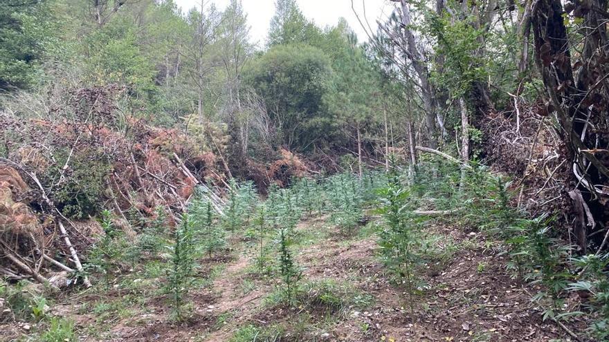 Detinguts dos homes per cultivar 1.510 plantes de marihuana en una zona boscosa d'Olius
