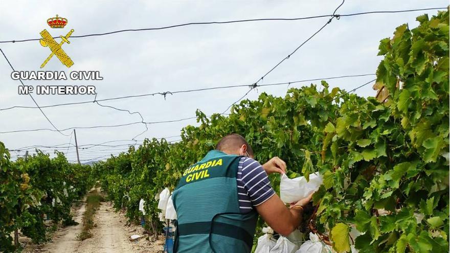 Investigan a 9 personas por cuatro delitos de hurto de uva de mesa del Vinalopó