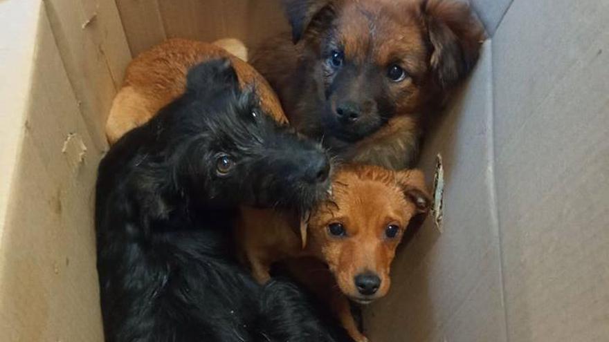Abandonan a tres cachorros en una caja cerrada cerca de la protectora de Campañó