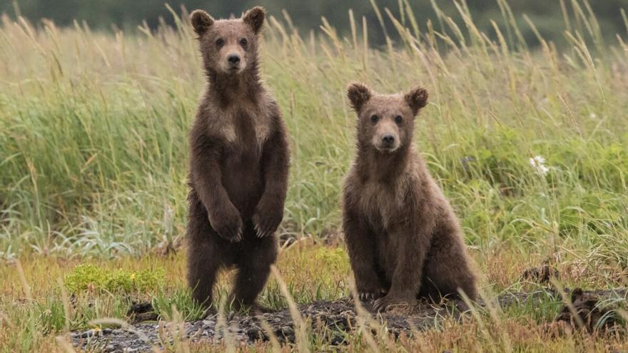 Más informadores ambientales en Asturias por riesgo de encuentros con osos