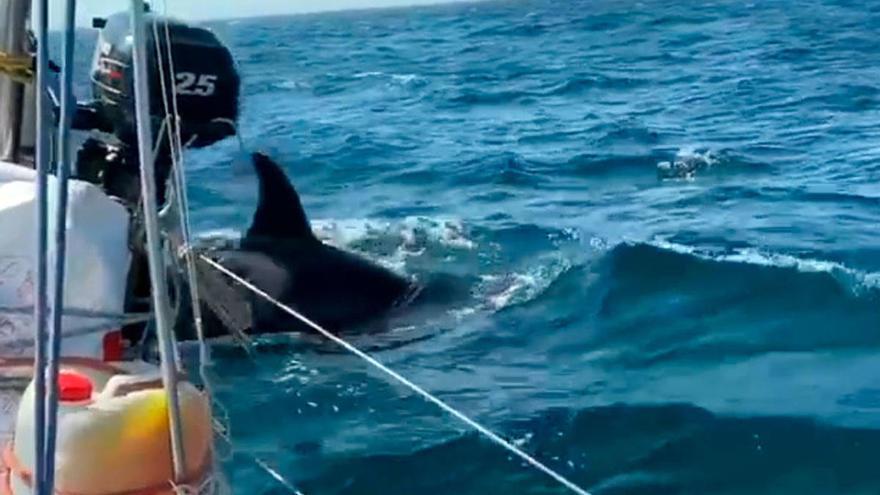 Capitanía Marítima de Ferrol limita la navegación de veleros en sus aguas para esquivar a las orcas