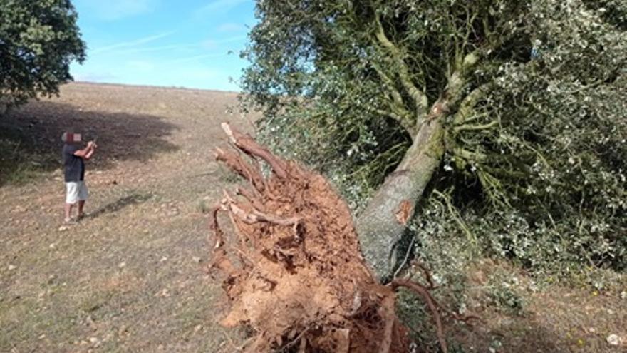 """Denuncian la tala de encinas para construir una """"macrogranja"""" en Carbajales"""