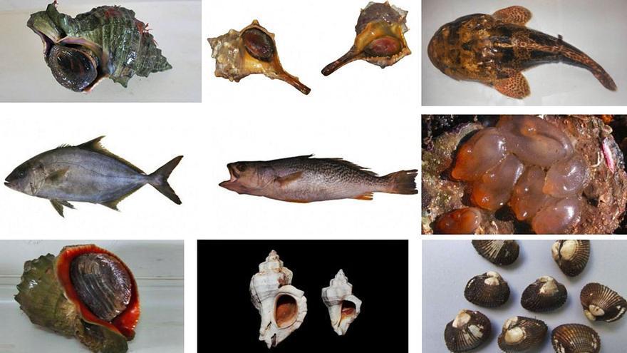 La red creada para detectar especies marinas exóticas o con malformaciones sitúa algunas de ellas en Arousa