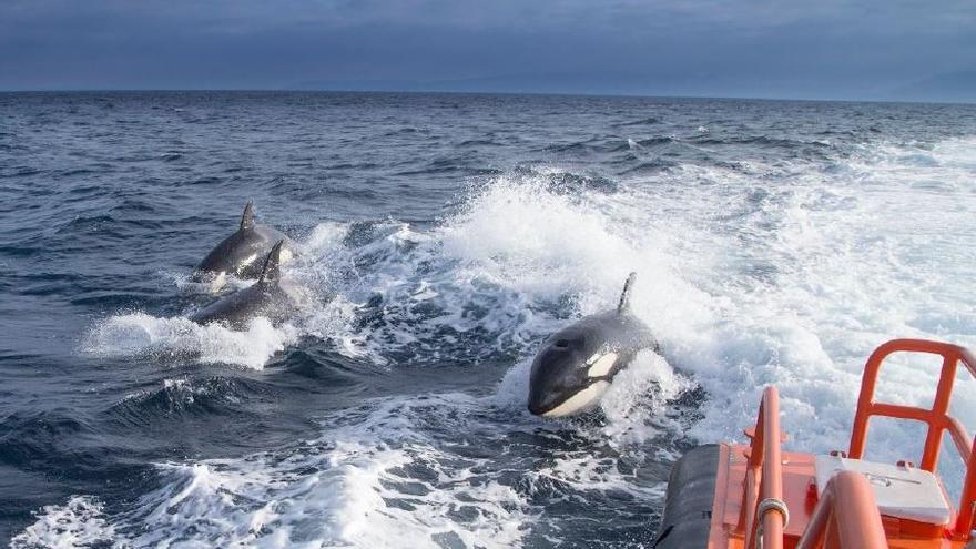 Marina Mercante limita la navegación de veleros frente a Cádiz para evitar choques con orcas
