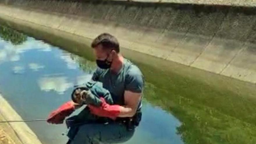 La Guardia Civil rescata un joven búho real que cayó al Canal de la Dehesa en Casas de Don Pedro