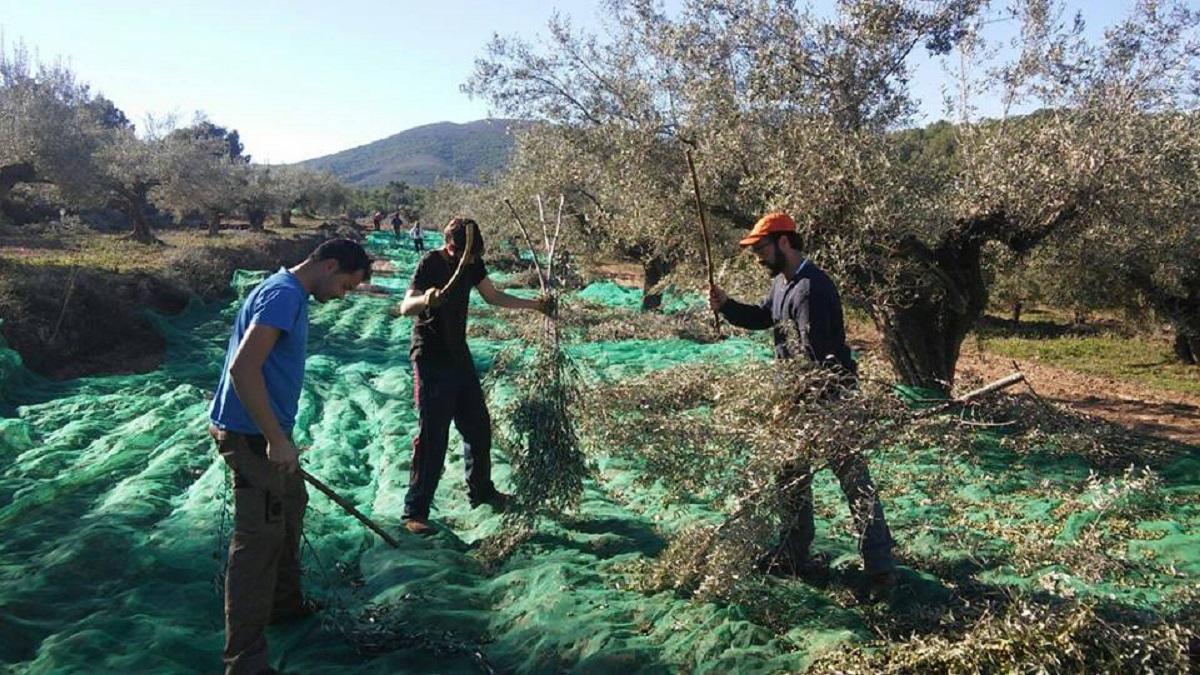 Trabajadores en una campaña de olivar.