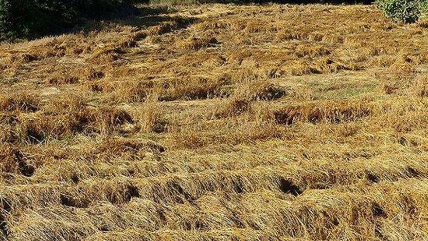 Mínims històrics en ordi i blat a les comarques gironines