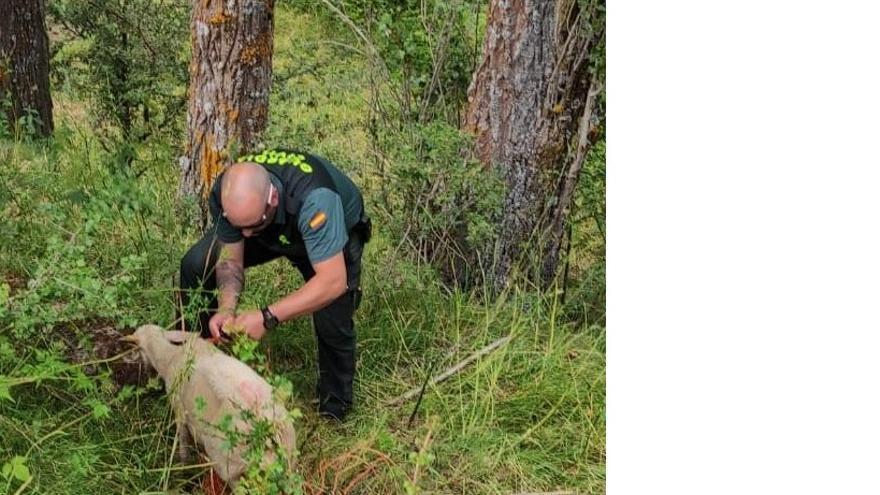 La Guardia Civil salva a una oveja que se asfixiaba en Sallent de Gállego