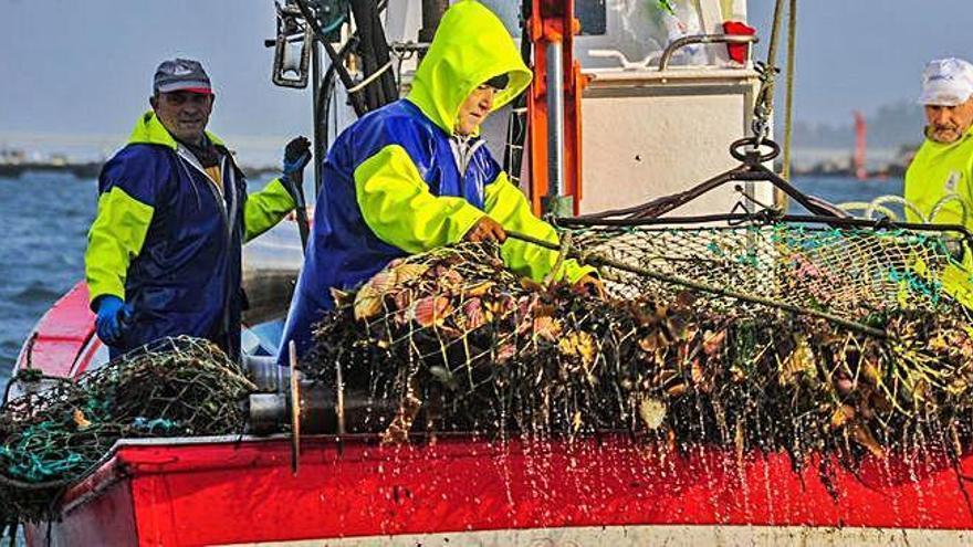La toxina frustra la campaña navideña de vieira en la ría de Ferrol por segundo año