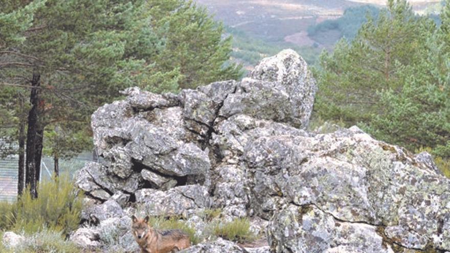 VÍDEO | Lobos en libertad pasean a sus anchas por Sanabria