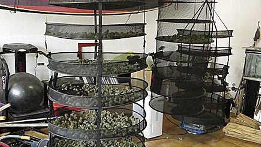 Intervienen 232 plantas de marihuana en Menorca
