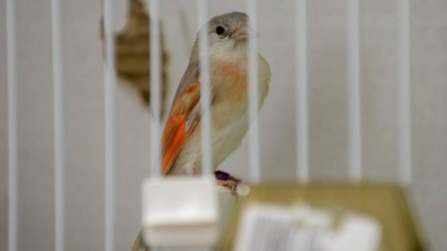 Concurso de pájaros en San Bartolomé