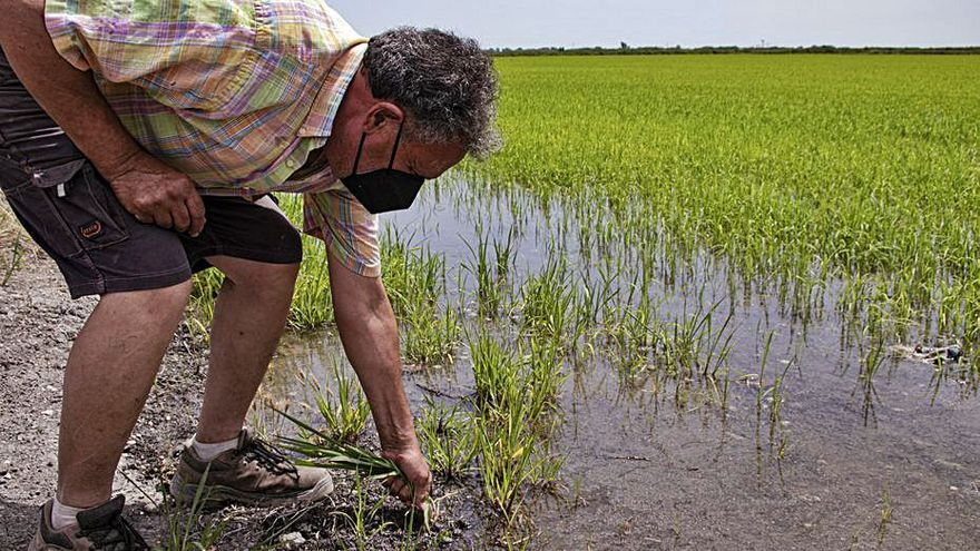 Las malas hierbas reducen un 30% la cosecha de arroz en Pego