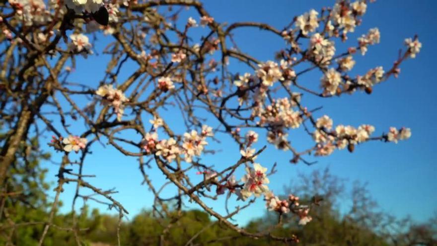 Mallorcas Mandelblüte in voller Pracht, Teil zwei