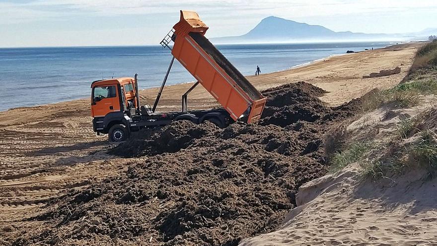 Oliva impulsa un estudio para convertir la posidonia oceánica en mobiliario urbano