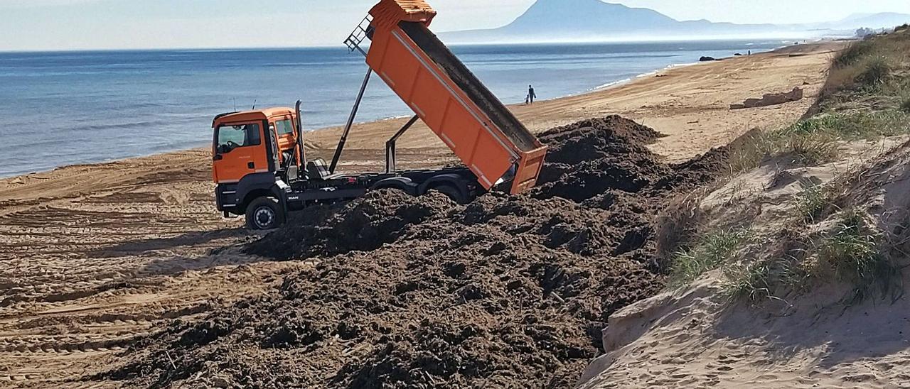 Montones de posidonia en la playa de Oliva, dispuesta para cubrirlos con arena para facilitar la regeneración del cordón dunar.                           | LEVANTE-EMV