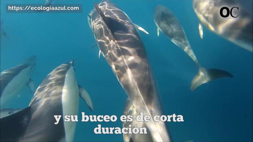 Buceamos con delfines por las costas gallegas