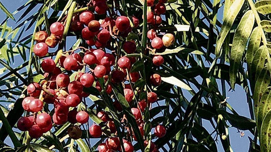 Auf Mallorca braucht der Falsche Pfefferbaum viel Platz zum Gedeihen
