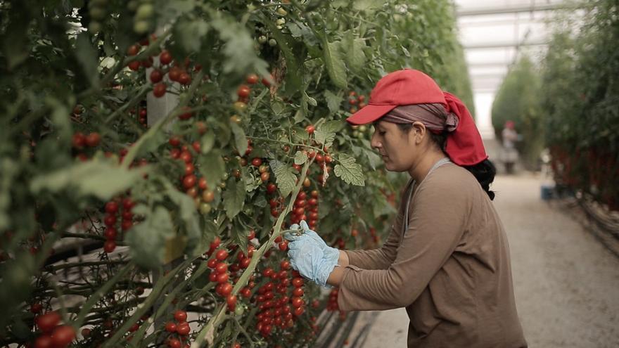 El tomate alicantino, conocido en todo el mundo