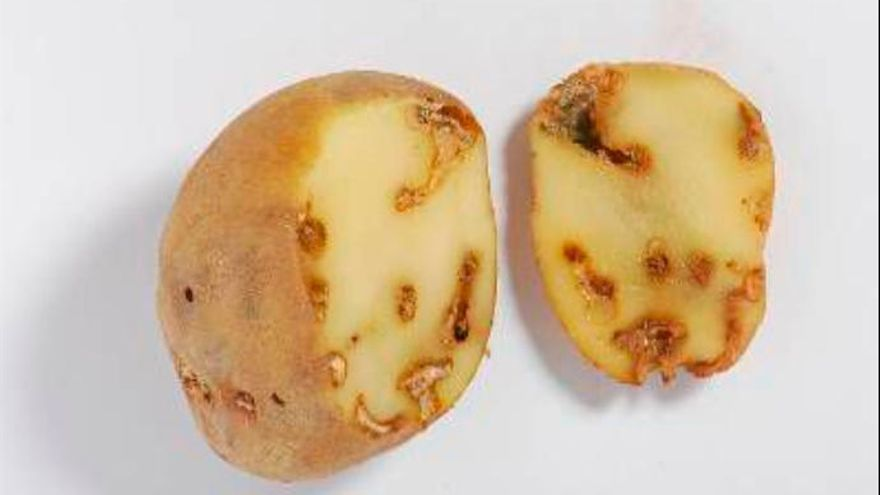 El Cabildo retira 110.000 kilos de papas con la polilla guatemalteca