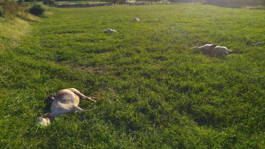 Asaja pide un plan de abandono de la ganadería extensiva tras los últimos ataques de lobo