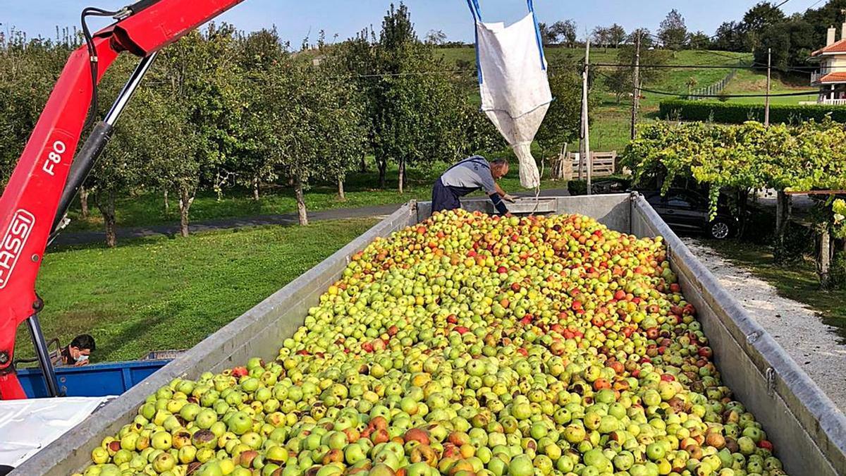 Imagen de la última campaña de recogida de la manzana de A Estrada, ya en pandemia.