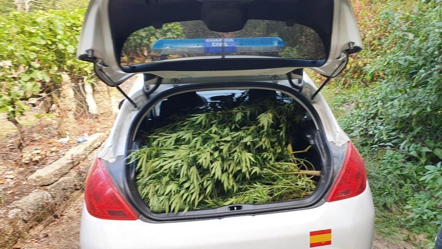Investigados dos jóvenes por el cultivo de 48 plantas de marihuana en Carballeda de Avia