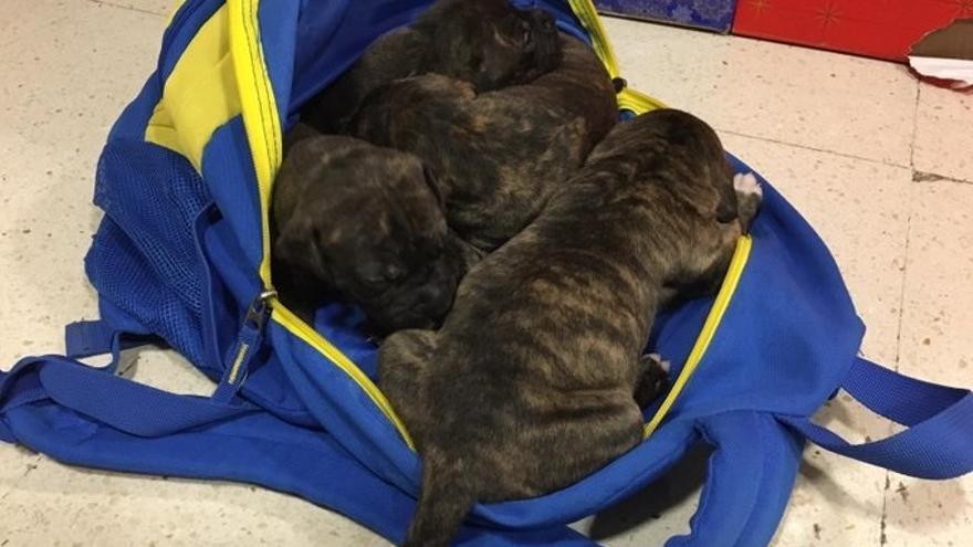Hallan cuatro cachorros en un contenedor de basura en Canarias