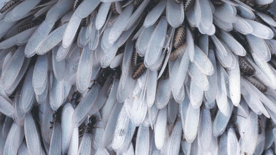 Alertan a la población para detectar nuevos focos de la plaga de termitas