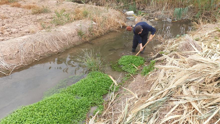 Alfafar actúa de oficio y elimina la planta invasora  de la acequia de Favara