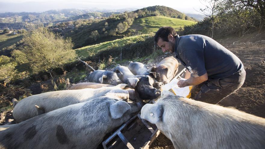 Monte Cabriles, el refugio porcino de Siero que acaba de ser reconocido con un sello de calidad