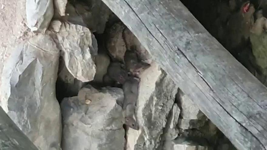 Ratas de campo en el Parque de San Vicente en Llíria