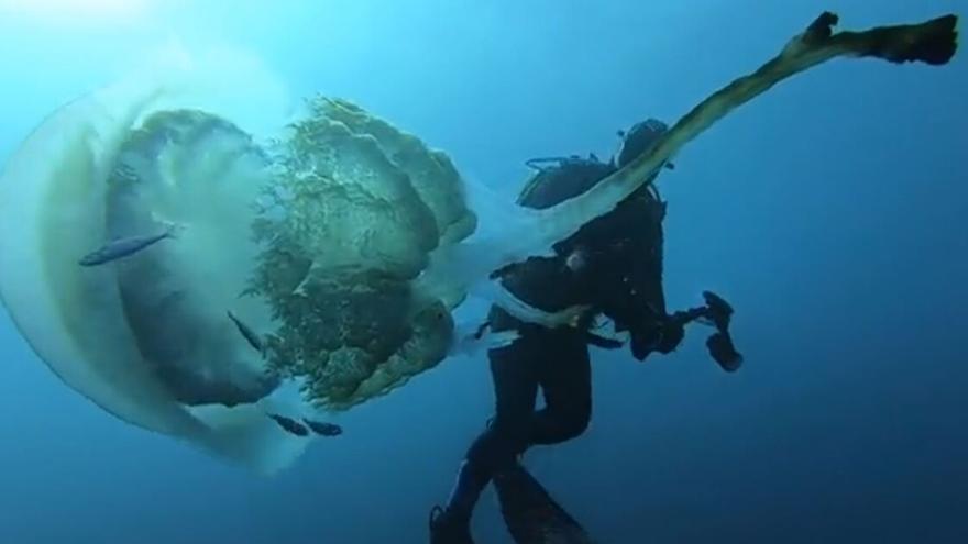 La impresionante medusa 'Rhizostoma luteum' encontrada en El Toro