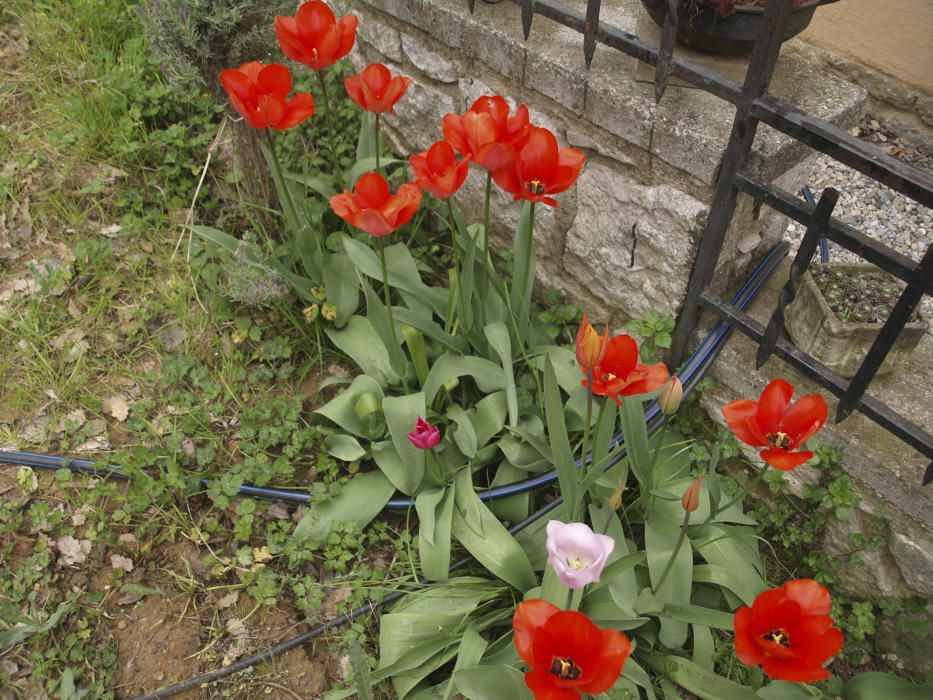 Tulipes colorides al jardí.