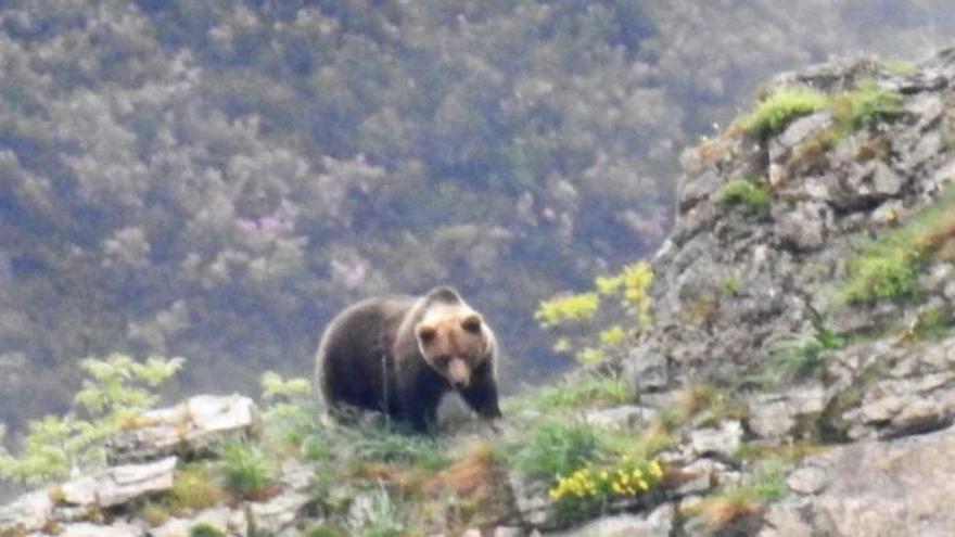Herida una mujer tras un ataque de un oso mientras paseaba por Cangas del Narcea